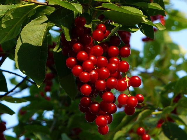 Польза и вред красной черемухи для здоровья человека