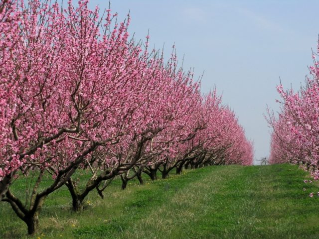 Болезни персика и борьба с ними