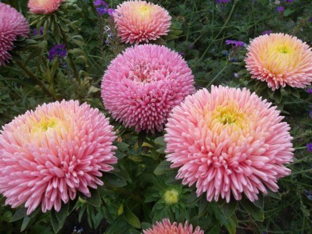 Астра китайская: выращивание из семян, когда сажать, отзывы