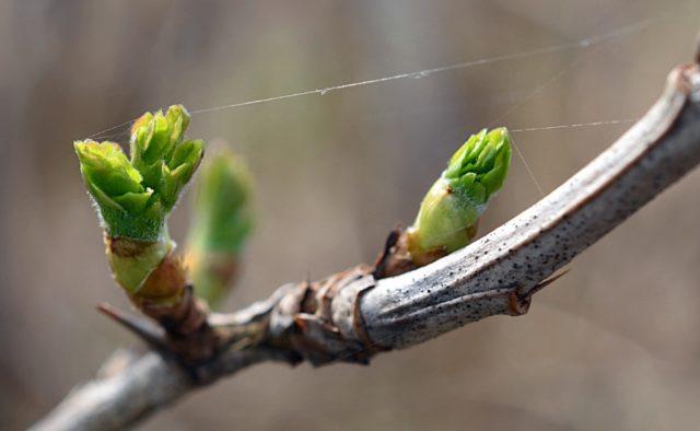 Как правильно обрезать крыжовник весной