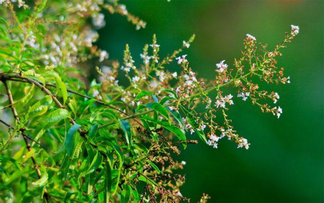 Алоизия трехлистная (вербена лимонная): выращивание, уход, фото
