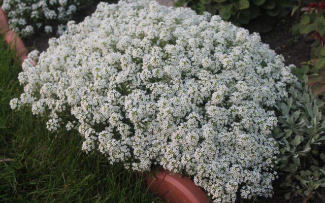 Алиссум ампельный: описание, сорта, выращивание, фото