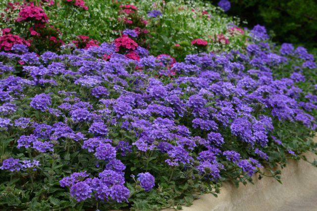 Вербена: посадка и уход в открытом грунте, фото цветов