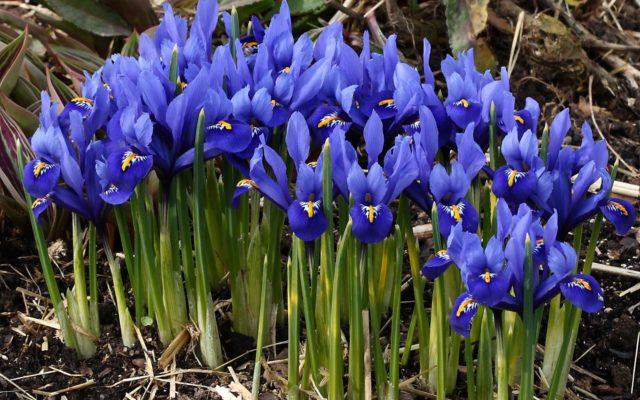 Чем подкормить касатики (ирисы): весной после зимы, летом, осенью