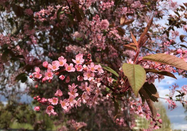 Черемуха обыкновенная Colorata (Колората): описание, посадка и уход