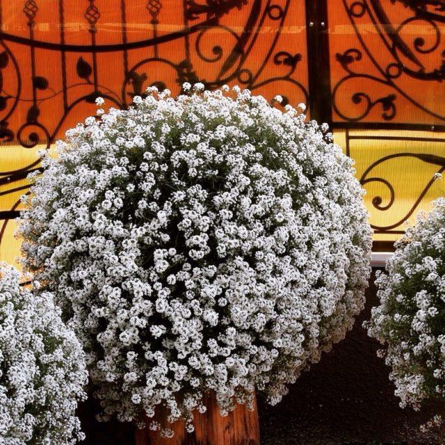 Лобулярия Snow Princess (алиссум Сноу Принцесс): описание сорта, фото