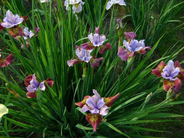 Касатик (ирис) сибирский: как посадить, размножение, зимовка
