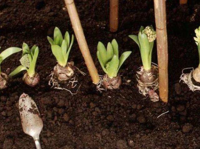 Ирис голландский луковичный: описание, посадка и уход за цветами