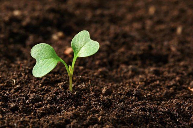 Капуста Мензания: отзывы, посадка и уход, урожайность