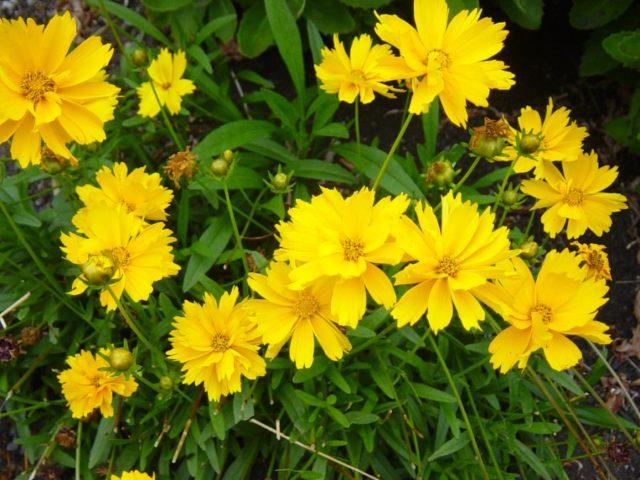 Кореопсис многолетний: посадка и уход в открытом грунте, фото цветов