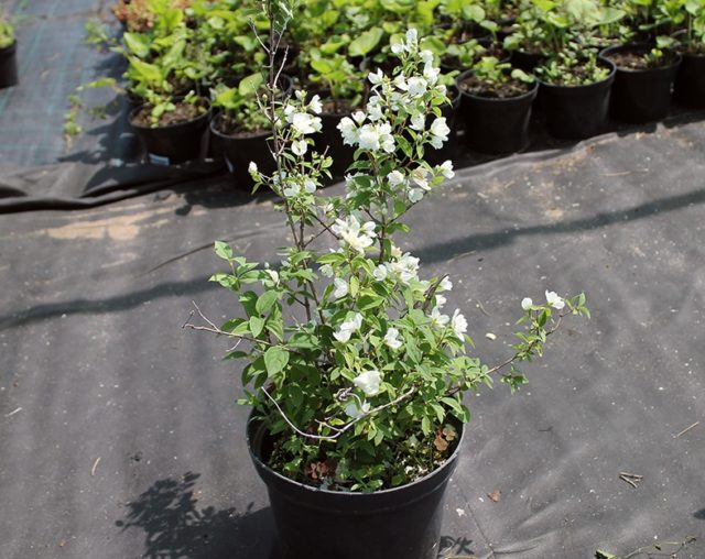 Жасмин садовый (чубушник) Virginal (Виргинский): описание и фото, отзывы