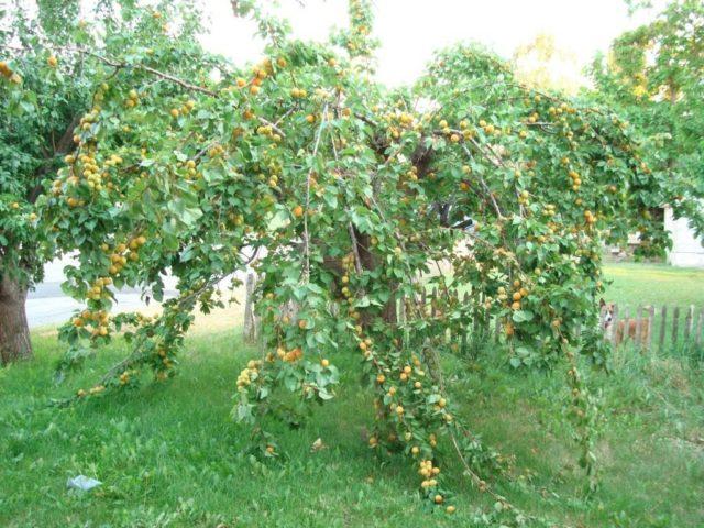 Абрикос Десертный Голубева: описание сорта, фото, отзывы дачников