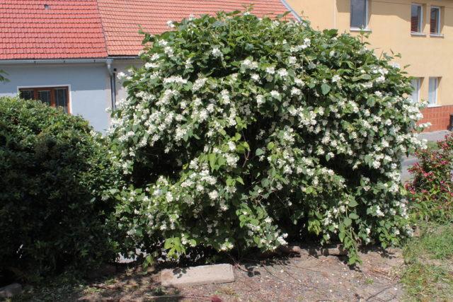 Как обрезать чубушник: весной, после цветения, схемы