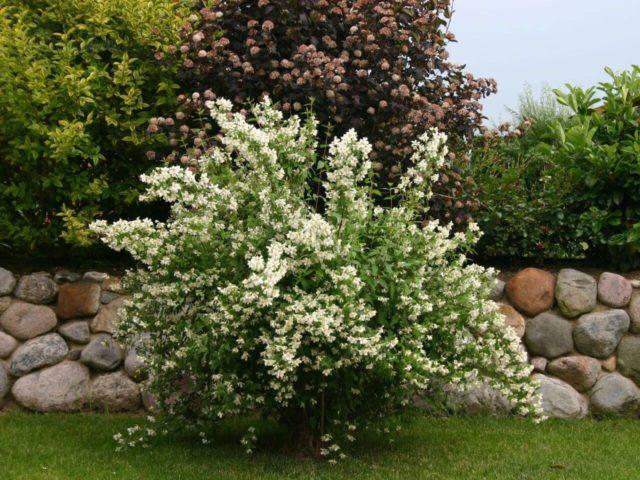 Жасмин садовый (чубушник) Girandole (Жирандоль): описание, фото