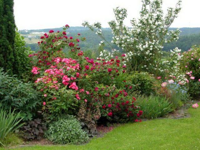 Жасмин садовый (чубушник) в ландшафтном дизайне: сада, фото