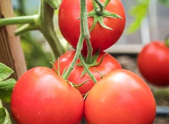 Томат Верочка Ф1 (F1): описание, урожайность, отзывы, фото