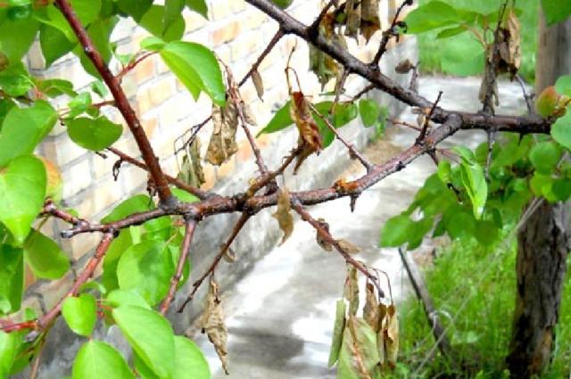 Абрикос Персиковый: описание, отзывы садоводов, фото