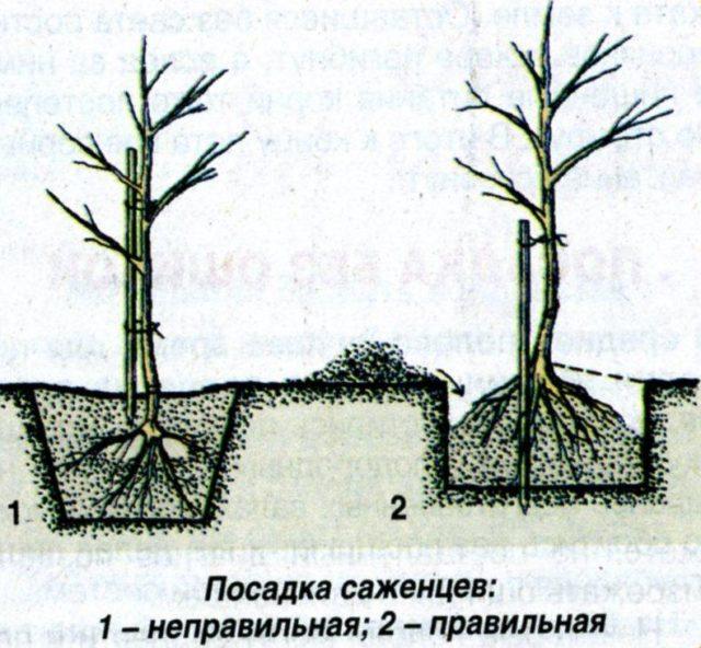 Абрикос Абаканский (Горный Абакан): описание, характеристики