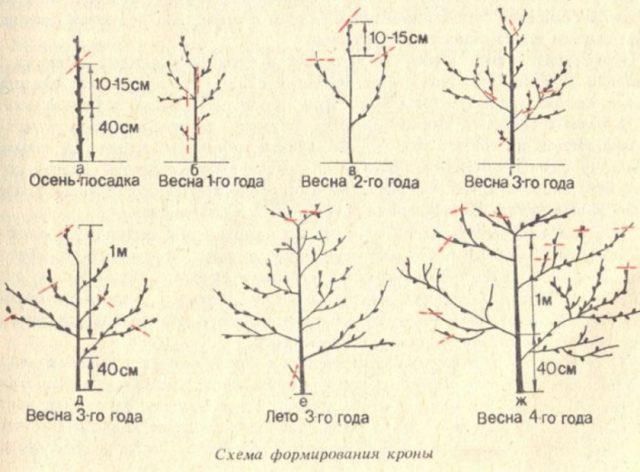 Абрикос Ананасный Цюрупинский: описание сорта, фото, отзывы