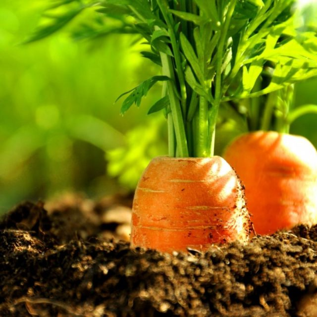 Сажают ли чеснок после моркови или рядом с ней