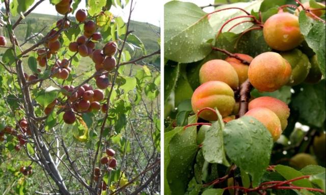 Чем отличается жердела от абрикоса