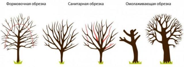 Абрикос: почему цветет, но не плодоносит, причины, что делать