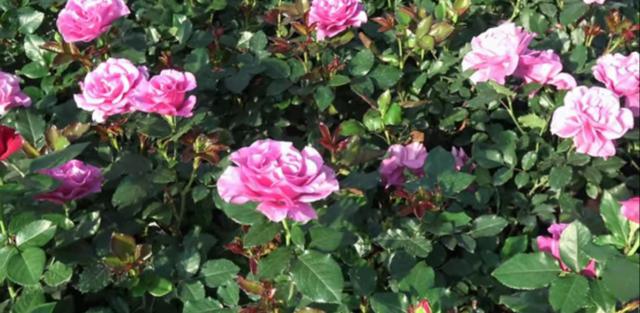 Роза Blue Nile (Голубой Нил): описание и фото, отзывы