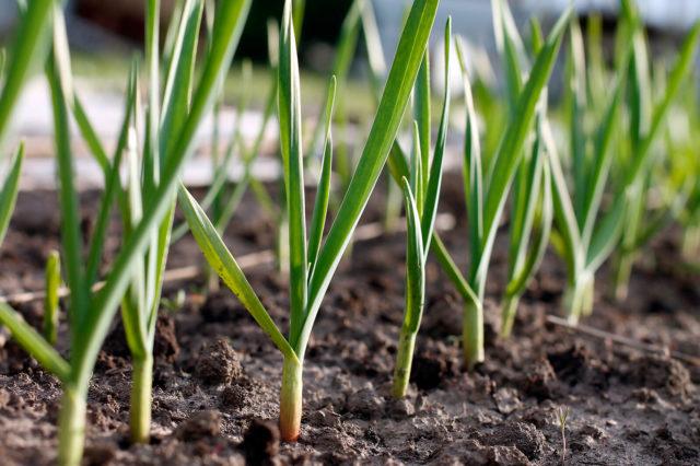 Чем подкормить чеснок в мае, июне и июле