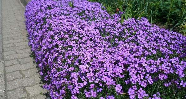 Лихнис (вискария): виды и сорта, посадка и уход за цветами, фото