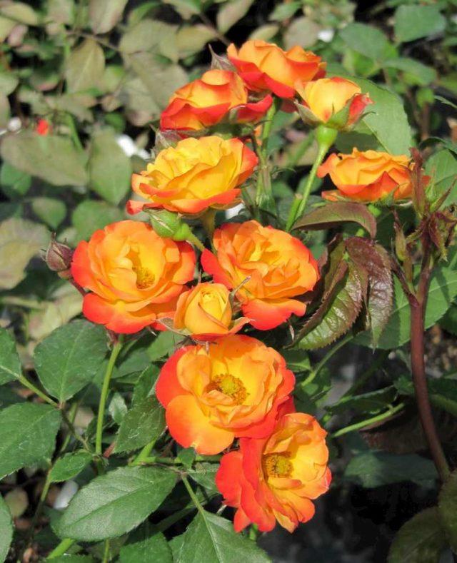 Плетистая роза флорибунда Rumba (Румба): описание и фото, отзывы