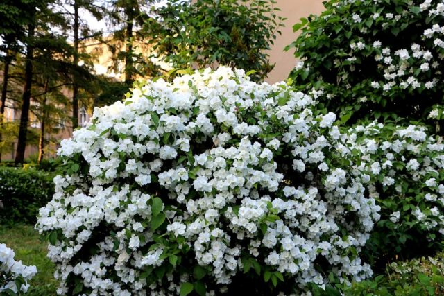 Посадка и уход за жасмином садовым (чубушником) в открытом грунте