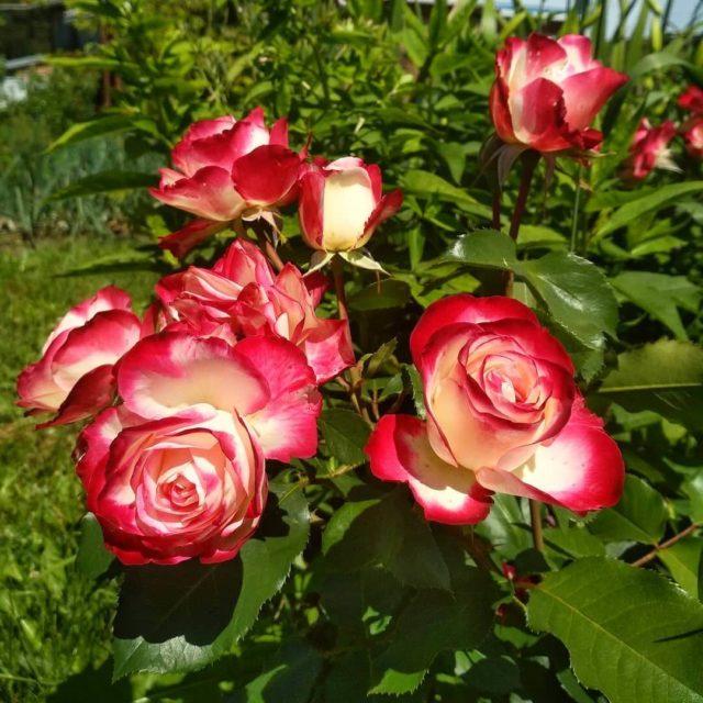 Роза флорибунда Jubile du Prince de Monaco (Жюбиле дю Принц де Монако)