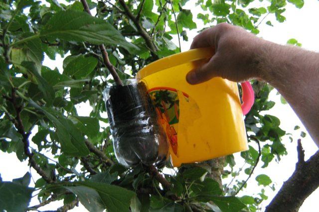 Размножение абрикоса: воздушными отводками, черенками, видео
