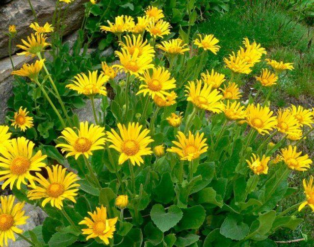 Козульник (дороникум): посадка и уход в открытом грунте, фото цветка