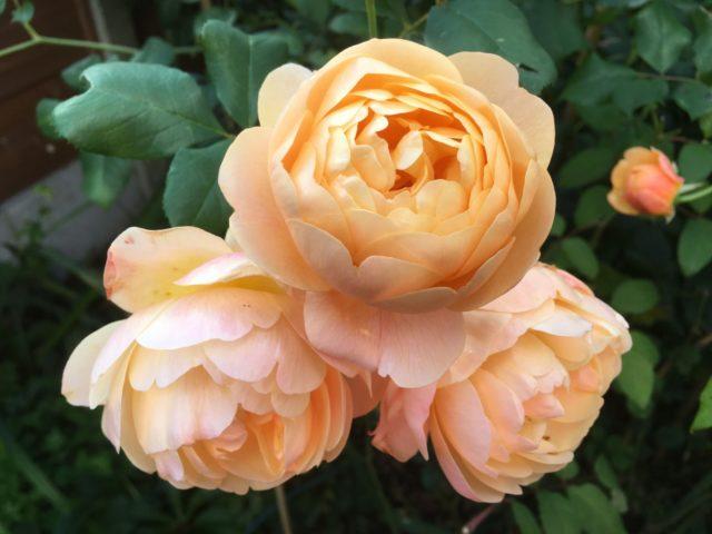 Английская парковая роза Остина Roald Dahl (Роальд Даль)