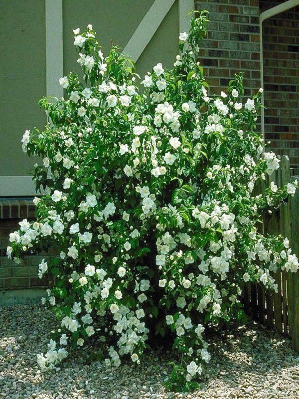 Жасмин садовый (чубушник) Minnesota Snowflake (Миннесота Сноуфлейк)