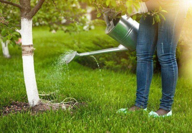 Когда и как часто поливать абрикос: весной и летом, после посадки