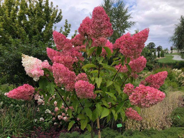 Гортензия цветет плохо или совсем не цветет: в чем причины, что делать