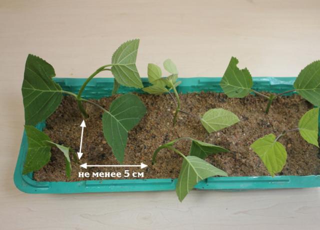 Как размножить гортензию черенками в домашних условиях летом