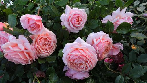 Роза Elizabeth Stuart (Элизабет Стюарт): описание и фото, отзывы