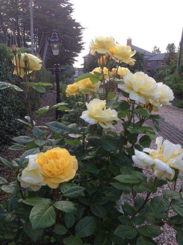 Роза флорибунда Arthur Bell (Артур Белл): описание и фото, отзывы