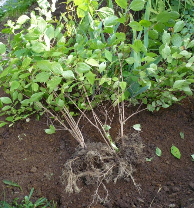 Размножение жасмина садового (чубушника) черенкованием, отводками