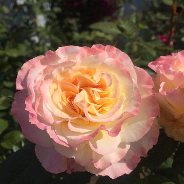 Чайно-гибридная роза Aquarell (Акварель): описание и фото, отзывы