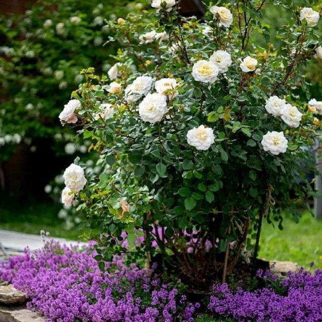Роза Crocus Rose (Крокус Роуз): описание и фото, отзывы