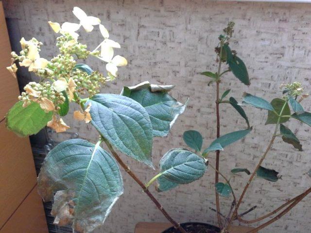 Почему и что делать, если у гортензии сохнут листья по краям