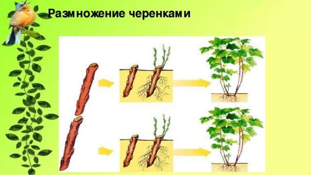 Солнечник (гелиопсис): посадка и уход в открытом грунте, фото