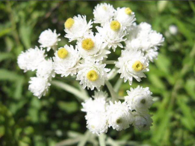 Цветок анафалис: описание, сорта и виды, посадка и уход