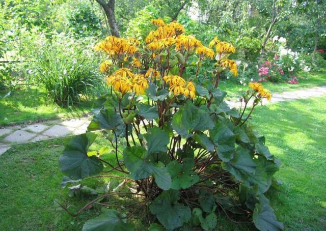 Ligularia hessei (Бузульник Хессей): посадка и уход, фото
