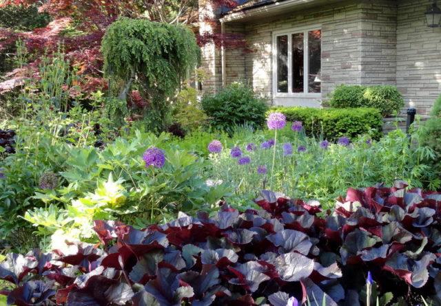 Бузульник (лигулярия) зубчатая Черный пурпур: описание, выращивание