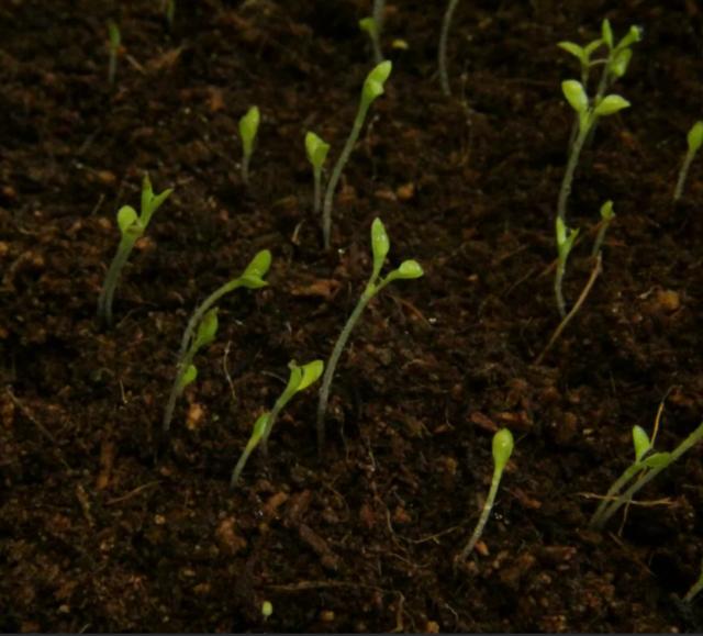 Гелихризум: посадка и уход в открытом грунте, фото цветов